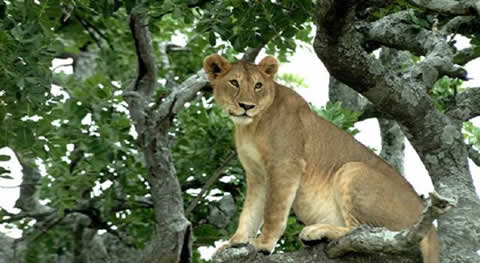 Uganda Safaris Are Among the Most Exciting in Africa